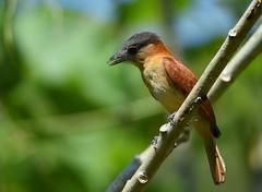 Rose-throated Becard (anacm.silva) Tags: rosethroatedbecard pachyramphusaglaiae becard ave bird wild natureza naturaleza birds aves tárcoles costarica wildlife nature