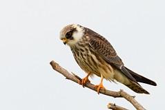 IMG_1095 (chavko) Tags: jozefchavko canon flickr bird hawk chavko falco vespertinus redfooted falcon slovakia sky animal photo tree forest people