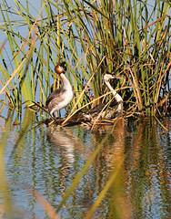 Great-crested Grebes - pair (Wild Chroma) Tags: podiceps cristatus podicepscristatus pair grebe birds nonpasserines portugal ludo faro algarve riaformosa