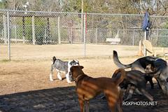 Officer_Lucy_Dogpark-1-1-2013 (14) (Ron Kikuchi) Tags: officerlucydogpark collies dogsdogparks germanshephards labradooddle labradors poodles ronkikuchi rgkphotosnet photgrapher copyrights forpermissiontousephotoscontactrgkphosnet forpermissiontousephotoscontactrgkphotosnet photosaresubjecttocopyrightlaws photosaresubjecttocopyrightsbyphotographer useofthesphotsowithoutpermissionisnotpermited