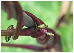 Macro Monday  -  twisted plant (jenimackenzie) Tags: macro monday twisted plant