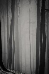 20190202-036 (sulamith.sallmann) Tags: landschaft pflanzen wetter baum botanik brandenburg buche buchenwaldgrumsin bäume deutschland europa laubbaum natur nebel nebelig pflanze uckermark wald weltnaturerbe winter winterlich sulamithsallmann