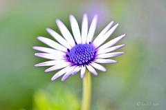 Margarita de centro morado. (EFD-fotolab) Tags: nikonmicro105mm nikond610 nikon naturaleza macrofotografia macro españa invierno flores flowers margarita