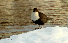 The dipper on the top. (irio.jyske) Tags: animalphotograph animalphotographer animal animals birdphotographer birdphotograph birdphoto birdpics bird dipper stone winter snow frost frozen river lake landscapes landscapephotographer landscapephotos lakescape landscapepics landscapepic lanscape landscapephotograph landscape photos photo photograph photographer pic beauty beautiful nature naturephoto naturephotograph naturepictures naturescape naturephotos naturepic naturephotographer natural naturepics nice