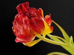 Tulpenzeit .. (Mike Reichardt) Tags: tulpe tulip flower flowerpower blume blüte macro makro nahaufnahme nature natur closeup plant