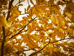 Gold .... (Julie Greg) Tags: nature nautre gold leaf leaves tree yellow