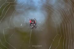 Ñandutí (Andres Ulibarrie) Tags: ñanduti araña animalia arthropoda arachnida araneae araneidae parawixia bistriata wildlife