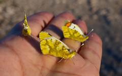 Reunión familiar. Zegris eupheme (Explore) (J Carrasco (mundele)) Tags: valdemoro cdemadrid insectos mariposas rhopalocera papilionoidea pieridae pierinae anthocharini zegris