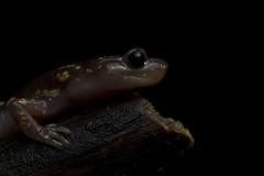Arboreal Salamander (DevinBergquist) Tags: arborealsalamander salamander amphibian california ca herping fieldherping wildlife nature