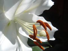 Tu sonrisa (0_Detalles_0) Tags: flor lilium pétalo pistilo luz naturaleza