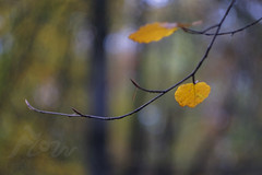 The Forest's Fanfare (Fourteenfoottiger) Tags: autumn autumncolours fall fallcolours leaves woodland winter woods trees helios44m golden bokeh vintagelens nature countryside