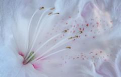 Sun Dappled Rhododendron (Summername) Tags: flowers rhododendron flora botanical nature naturescomposition flowerobsession flowerglossary flowerpower flowersgalore stamens macro tamron canon flickr flickrflowers perspective sundappled pistil