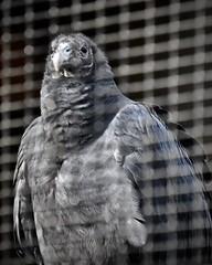 Black Vulture (tim.perdue) Tags: ohio bird sanctuary aviary raptor avian feathers plumage rehabilitation center nature preserve mansfield nikon d5600 nikkor 18140mm animal wildlife vulture black