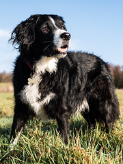 Mali at Bagworth Heath (Captain192) Tags: dog dogs collie spaniel spanielcolliecross bordercollie sprollie sunshine grass heath heathland bagworth bagworthheath nationalforest