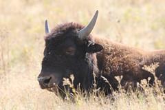 Bison (jpotto) Tags: usa montana nationalbisonrange moiese bison buffalo animal