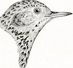 Thrush in progress. (www.ruffrootcreative.com) Tags: thrush birds avian illustration drawing penandink inksane ruffrootcreative idiotthewise markcummins bournemouth bpdandcreativity outsiderartist