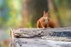 Hoernchen-2018-0192 (Joachim Dobler) Tags: eichhörnchen eichhoernchen squirrel écureuil ardilla scoiattolo esquilo nature natur nagetier esquito wildlife animal cute naturephotography squirrellove wildlifephotography bestsquirrel nutsaboutsquirrels cuteanimals