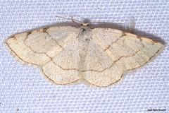Stegania trimaculata (de Villers, 1789). Hembra (Jesús Tizón Taracido) Tags: hexapoda insecta lepidoptera geometroidea geometridae ennominae cassymini steganiatrimaculata