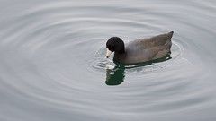 American Coot (mausgabe) Tags: olympus em1 olympusm40150mmf28 olympusmc14 nyc centralpark thereservoir duck americancoot