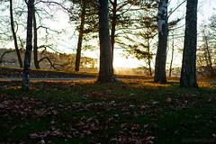 Autumn light (Joni Mansikka) Tags: autumn nature outdoor grass leaves trees light branches sauvo suomi finland