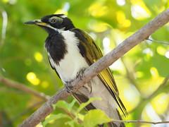 P7040894 (choazy) Tags: australia bluefacedhoneyeater jabiru kakadunationalparc northernterritory oiseau