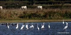 0S8A9379-001. Réserve naturelle de l'étang des Landes (Nick Ransdale (http://www.nick-ransdale.com/)) Tags: egrettaalba greategret
