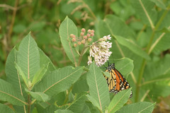 Kohler-Andre State Park (turn off your computer and go outside) Tags: 2018 butterfliesofthenorthwoods2ndeditionisbn9780967379357page174 danausplexippus familynymphalideabrushfoots july kohlerandrestatepark monarch summer black brown butterfly critter identified orange outdoors butterfliesofthenorthwoods2ndeditionisbn9780967379357