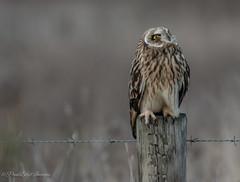 Star gazing. (budgiepaulbird) Tags: canon7dmark2 100400mark2 nationaltrust burwell shortearedowls seo cambridgeshire fens owls birdsofprey