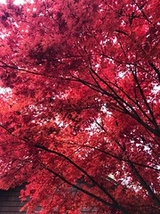 327/365 (moke076) Tags: 2018 365 project 365project project365 oneaday photoaday mobile cell cellphone iphone nature tree leaves red maple color autumn fall atlanta ga looking up bright