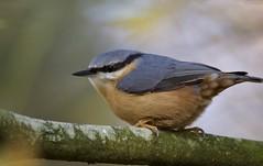 Nuthatch (Alan McCluskie) Tags: nuthatch sittaeuropaea woodlandbird woods trees birds feathers nature ukwildlife canon7dmk2 sigma150600mmsp