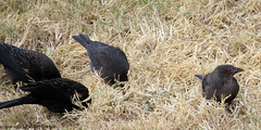 2819 Bronzed Cowbird Close-up (paule48) Tags: animal arizona brco bird bronzedcowbird rwbb songbird usa black blackbird scottsdale redwingedblackbird foraging
