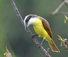 Great Kiskadee (Digital Plume Hunter) Tags: