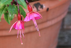 DSC_2294 Fuchsia Still hanging on (PeaTJay) Tags: nikond750 sigma reading lowerearley berkshire macro micro closeups gardens outdoors nature flora fauna plants flowers fuchsia