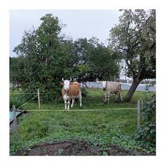 Cows (ngbrx) Tags: unterseen berneseoberland switzerland interlaken bödeli schweiz suisse svizzera bern berne bernese berner oberland grass gras trees bäume cows kühe