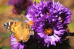 Vanessa and Asters (San Francisco Gal) Tags: aster vanessa butterfly flower fleur flora fauna bloom blossom macro bokeh