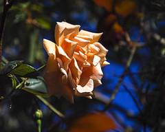 2018 Autumn rose (shinichiro*) Tags: 20181102sdim6752 2018 crazyshin sigmasdquattroh sdqh sigma1770mmf284dcmacrohsm november autumn yokohama 横浜イングリッシュガーデン rose flower macro 45696377124 4983492 201904gettyuploadesp
