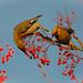 Pair of Waxwings gorging on berries