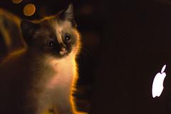 Kisu1 (Niko Mehiläinen) Tags: mem meme cat pussy christmas bokeh apple canon 50mm portrait catsonflickrksr joensuu finland suomi joulu meemikissa kissa