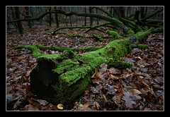 Im Mönchbruchwald (nordelch61) Tags: deutschland hessen heimat naturschutzgebiet mönchbruch wald baum bäume wurzel wurzeln ast äste zweig zweige moos totholz humus zerfall tree dead forest