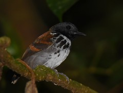 Spotted Antbird (anacm.silva) Tags: spottedantbird antbird ave bird wild wildlife nature natureza naturaleza birds aves arenal lafortuna costarica hylophylaxnaevioides coth5