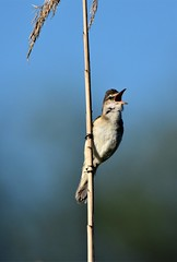 Marsh warbler (Silvio Astengo) Tags: marshwarbler acrocephaluspalustris cannaiolaverdognola danubedelta