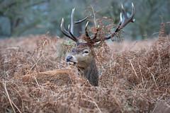 Take a rest (Valentin Laurentziu) Tags: nature outdoor red deer stag fern light wild wildlife grass