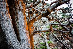 20151011_PointLobos_114 (peaceblaster9) Tags: tree cypress moss park pointlobos california leica mp type240 nature coast