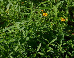 Tagetes lucida, Queens Gardens, Townsville, QLD, 10/09/18 (Russell Cumming) Tags: plant tagetes tageteslucida asteraceae queensgardens townsville queensland