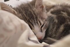 Kitten 🐈 (Thaïs Photographie) Tags: kitten cat chat animal pet cute animalphotography