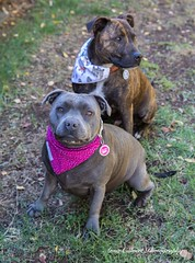 Storm and Thor (Anna Calvert Photography) Tags: storm thor canine dogs landscape outdoors puppies scenery staffie staffiex bluestaffie