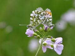 aurorafalter (alfred.reinartz) Tags: schmetterling insekt tagfalter