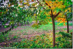 Debajo del Arbol (Antonio Zamora) Tags: antoniozamora amarillo verde yellow green arbol árbol arboles árboles fall otoño paisaje paisajes landscape landscapes hdr hoja hojas hierba grass canon españa eos7d eos spain colores colors color colours colour photoshop natura nature naturaleza