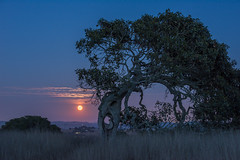 20140811_super_moon__tree_001 (petamini_pix) Tags: moon moonrise supermoon fullmoon tree oak oaktree blue