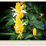Sonnenberg Gardens & Mansion Historic Park ~ Canandaigua NY  - Exotic Yellow Flower thumbnail